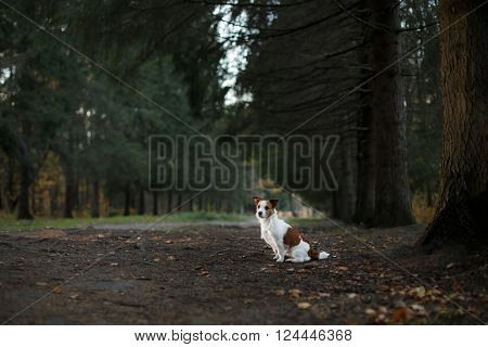 Dog Breed Jack Russell Terrier Walks On Nature