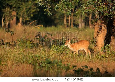 Young spotted deer or chital (Axis axis), Kanha National Park, India