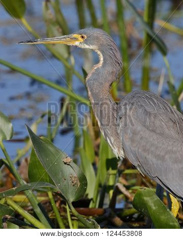 Closeup Of A Tricolored Heron In A Florida Wetland