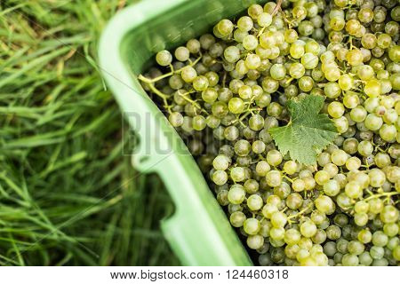White wine grapes in a plastic box during harvest