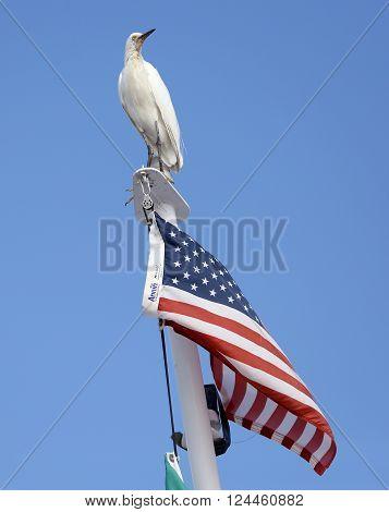 Snowy Egret Bird Perched on American Flag