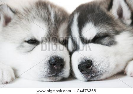 muzzles of sleeping Siberian husky puppy dogs