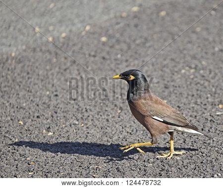 The feet of a Mynah bird (Acridotheres tristis) are much better equipped to walk on hot tarmac than most ladies' shoes!