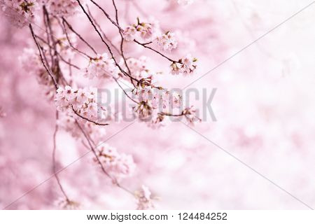 Cherry blossom in full bloom. Cherry flowers in small clusters on a cherry tree branch. Shallow depth of field. Focus on center flower cluster.