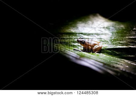 Rana commonly known as the pond frog or brown frog is a genus of frogs in natural habitat Sniharaja rainforest Sri Lanka