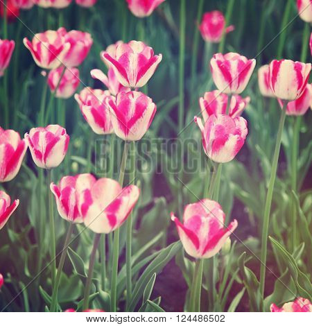 Beautiful tulips in spring with Instagram effect