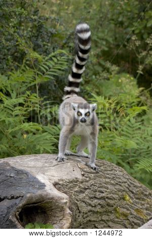 Ring-Tailed Lemur On Tree Stump