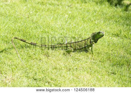 Green Iguana On Grass