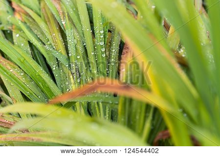Selective focos of water droplets on green grass leaves out of focus foreground and background leaves