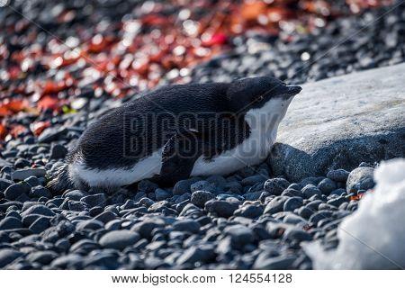 Adelie penguin in sunshine lying on shingle