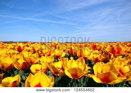 Yellow and red tulip field in Holland
