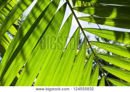Bright Fresh Palm Tree Leaves, Macro Photo