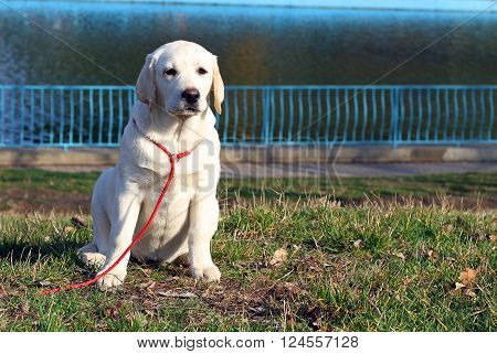 A Yellow Happy Labrador Puppy In Garden