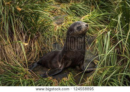 Antarctic fur seal pup in tussock grass