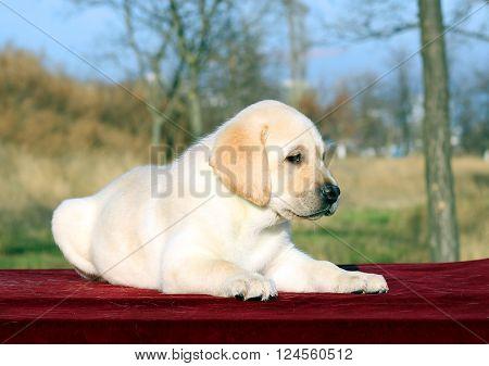 The Nice Yellow Happy Labrador Puppy In Garden Portrait