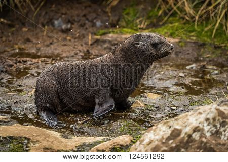 Antarctic fur seal pup waddling along riverbed