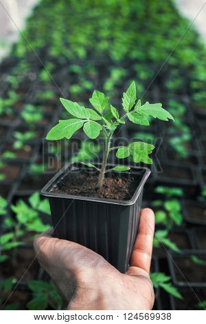 Holding healthy tomato plant for gardening