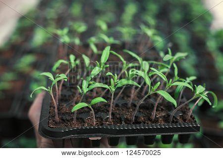Gardening tomato organic plants