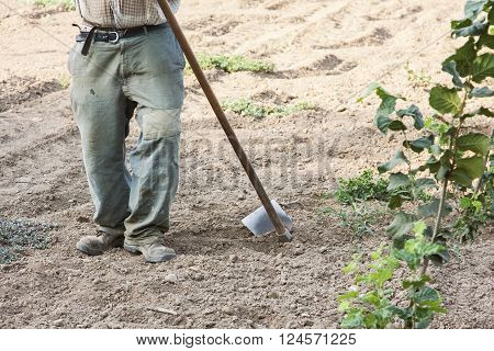 The Farmer Who Hoeing Hazelnuts In A Coultivate Field