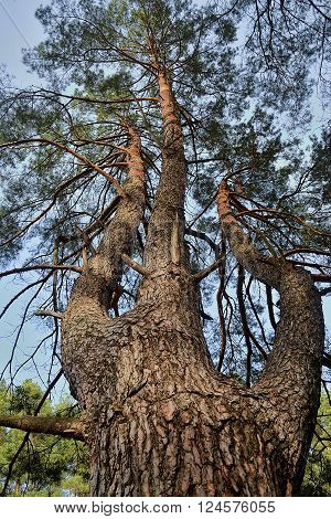 a high pine tree growing with three trunks seen from ground towards its top