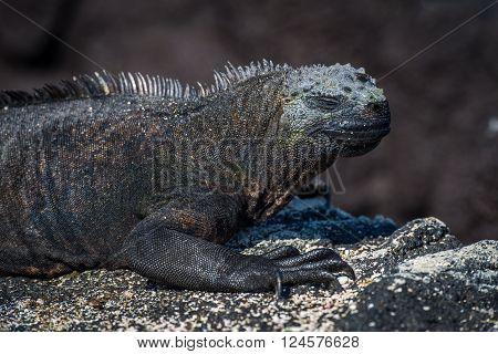 Close-up of marine iguana on sandy rock