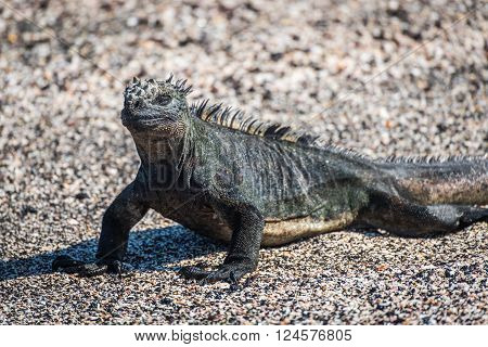 Close-up of marine iguana on sandy beach