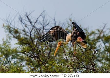 Painted stork flying. The painted stork is a large wading bird in the stork family. It is found in the wetlands of the plains of tropical Asia south of the Himalayas