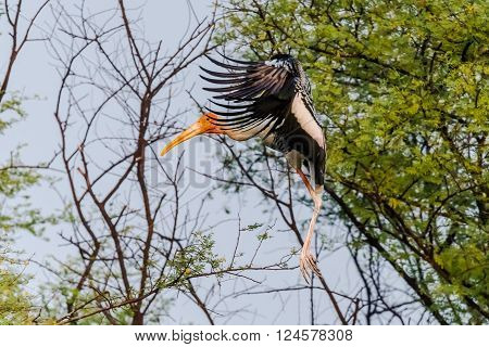 Painted stork flying. The painted stork is a large wading bird in the stork family. It is found in the wetlands of the plains of tropical Asia south of the Himalayas in the Indian Subcontinent