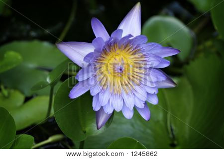 Blue Water Lilly Against A Green Background Of Leaves