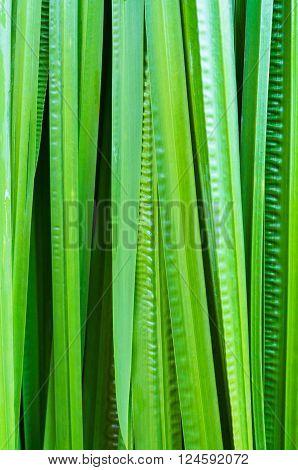 Abstract Backgrounf leaf and foliage Acorus calamus