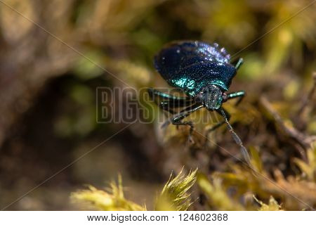 Blue shieldbug (Zicrona caerulea) head on. An iridescent true bug in the family Pentatomidae showing metallic colouring