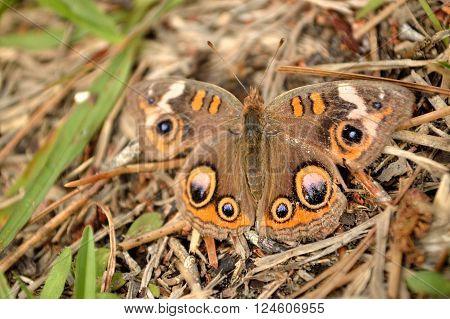 Hidden In Plain View Common Buckeye Butterfly