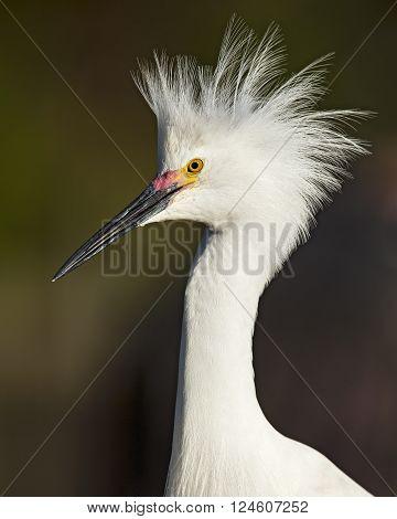 Closeup Of A Snowy Egret In Breeding Plumage