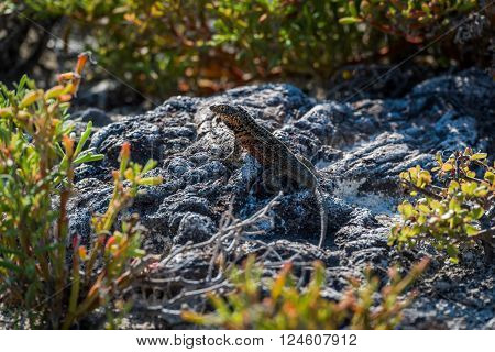 Lava lizard perched on rock in undergrowth poster