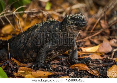 Marine iguana among dead leaves under bushes