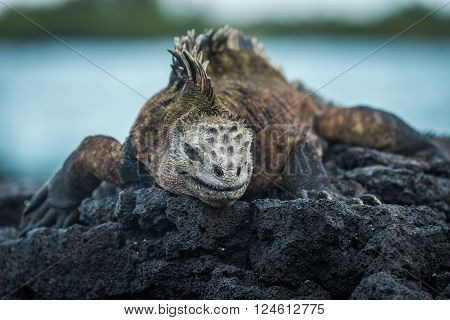 Marine iguana on volcanic rocks beside sea