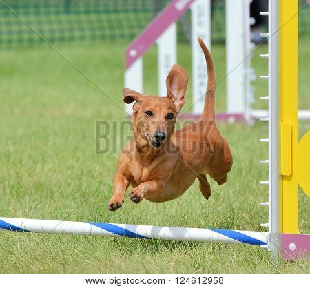 Dachshund Leaping Over a Jump at a Dog Agility Trial poster