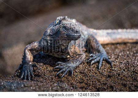 Marine iguana perched on wet brown rock ** Note: Shallow depth of field