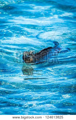 Marine iguana swimming in shallow blue waters