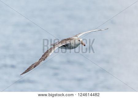 Antarctic giant petrel gliding above grey ocean poster