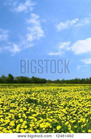 yellow dandelion green field nature background