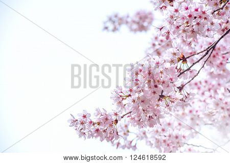 Cherry Blossom in spring with Soft focus Sakura season in korea, Background.