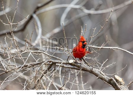 The northern cardinal is a North American bird in the genus Cardinalis; it is also known colloquially as the redbird or common cardinal. During courtship, the male feeds seed to the female beak-to-beak