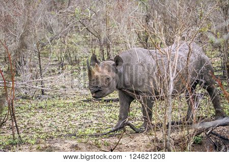 Specie Diceros bicornis famuly of Rhinocerotidae, black rhinoceros in the bush, Kruger park
