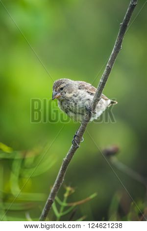 Vegetarian finch perched on branch looking down