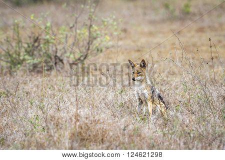 Specie Canis mesomelas family of canidae, black backed jackal in savannah, Kruger park