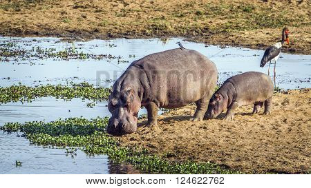 Specie Hippopotamus amphibius family of Hippopotamidae, wild hippos bathing in Kruger park