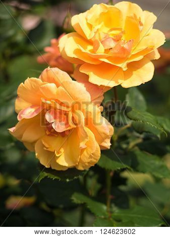 The flower of a rose is elegant and beautiful. ** Note: Soft Focus at 100%, best at smaller sizes