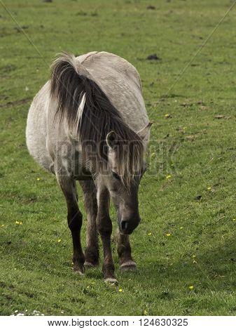wild horses in the german muensterland near merfeld