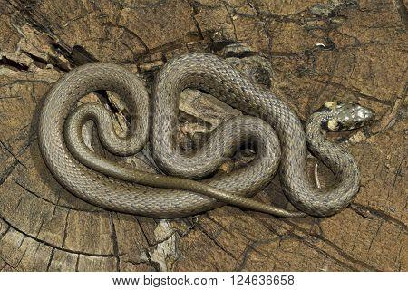 European non venomous water Grass snake, Natrix natrix poster